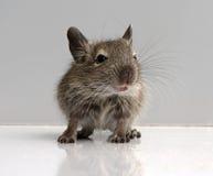 Rato do bebê Fotografia de Stock
