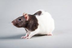 Rato do laboratório imagens de stock