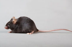Rato do laboratório fotografia de stock
