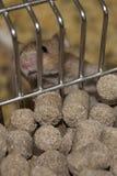 Rato do laboratório em uma gaiola Imagem de Stock Royalty Free