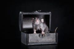 Rato doméstico de Brown em um fundo preto foto de stock