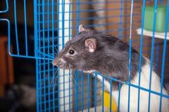 Rato doméstico em uma gaiola imagem de stock