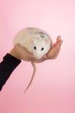 Rato doméstico em uma palma Fotografia de Stock Royalty Free