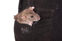 Rato doméstico no bolso fotografia de stock
