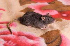 Rato doméstico pequeno em uma cobertura Foto de Stock Royalty Free