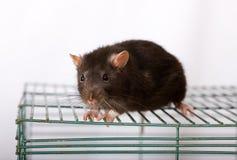 Rato doméstico preto Imagem de Stock