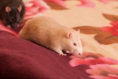 Rato doméstico vermelho Imagem de Stock