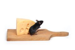 Rato e queijo Foto de Stock Royalty Free