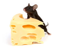 Rato e queijo Fotografia de Stock Royalty Free