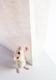 Rato e saco branco Fotografia de Stock Royalty Free
