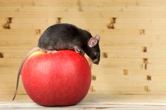 Rato em Apple Fotos de Stock
