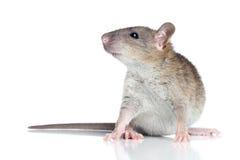 Rato em um fundo branco Imagens de Stock