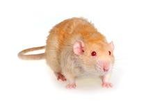 Rato em um fundo branco Imagem de Stock