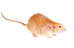 Rato em um fundo branco Fotografia de Stock