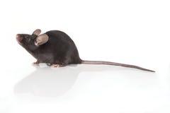 Rato em um fundo branco Foto de Stock Royalty Free