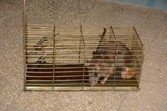 Rato em uma armadilha fotografia de stock