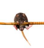 Rato em uma barra horizontal Fotografia de Stock Royalty Free