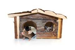 Rato em uma casa em um fundo branco Foto de Stock Royalty Free