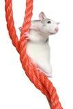 Rato em uma corda Fotografia de Stock Royalty Free