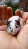 Rato em uma palma fêmea imagem de stock