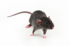 Rato Home Imagens de Stock Royalty Free