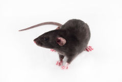 Rato Home sobre fotografia de stock
