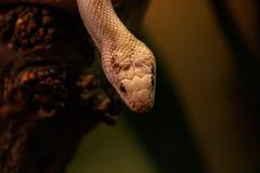Rato leucistic de texas da serpente foto de stock