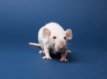 Rato macio com olhos vermelhos Fotografia de Stock Royalty Free