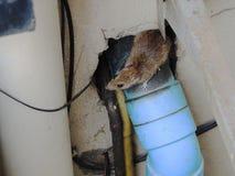 Rato marrom alerta Imagens de Stock