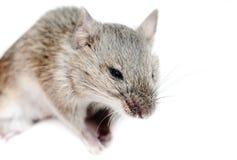 Rato. Minutus de Micromys, tiro do estúdio Imagens de Stock