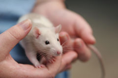 Rato na mão Fotografia de Stock