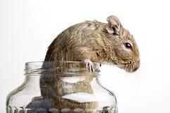 Rato no frasco Imagens de Stock
