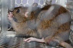 Rato no prendido Imagens de Stock
