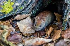 Rato nos animais selvagens na floresta do outono imagens de stock