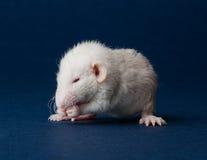 Rato peludo pequeno em um fundo azul Imagens de Stock