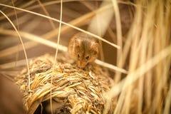 Rato pequeno Foto de Stock Royalty Free