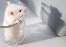 Rato pequeno bonito em um vidro Fotos de Stock Royalty Free