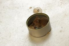 Rato pequeno bonito que come o arroz em Tin Can imagens de stock royalty free