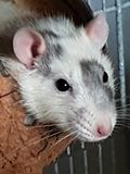Rato por pouco nager preto branco Fotos de Stock