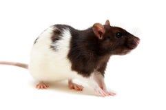 Rato preto e branco Imagens de Stock