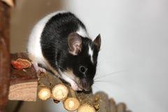 Rato preto e branco Fotografia de Stock Royalty Free