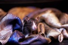 Rato preto e branco bonito que esconde em um lenço Foto de Stock Royalty Free