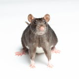 Rato preto no branco Foto de Stock Royalty Free
