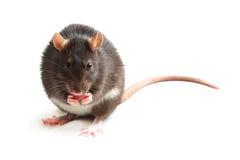 Rato preto que come no fundo branco Fotografia de Stock Royalty Free