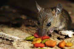 Rato que come a alimentação na textura de madeira Imagem de Stock