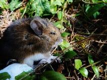 Rato que dorme fora no fundo frondoso fotografia de stock