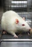 Rato que olha scared prendido em uma gaiola fotos de stock