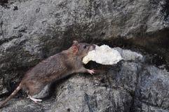 Rato que rouba um pão Foto de Stock Royalty Free