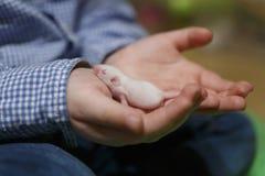 Rato recém-nascido pequeno com os olhos fechados na mão dos childs Imagem de Stock