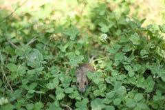 Rato selvagem na grama fotografia de stock